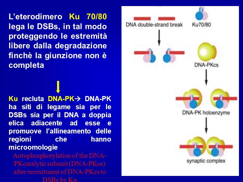 L'eterodimero Ku 70/80 lega le DSBs, in tal modo proteggendo le estremità libere dalla degradazione finchè la giunzione non è completa