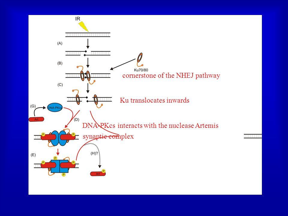 cornerstone of the NHEJ pathway