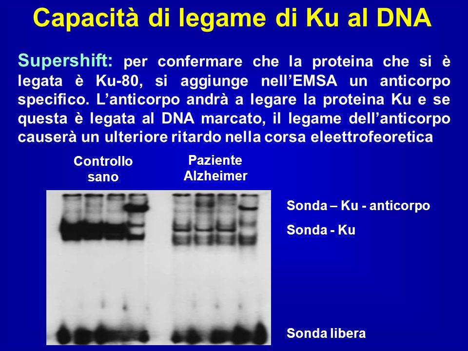 Capacità di legame di Ku al DNA