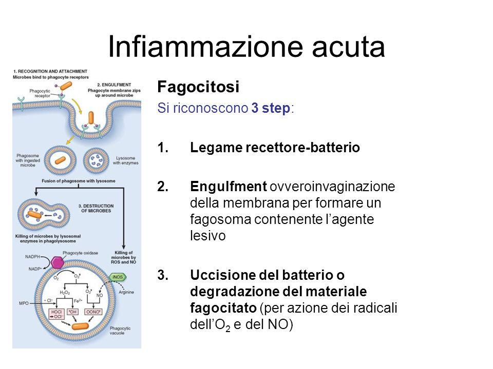 Infiammazione acuta Fagocitosi Si riconoscono 3 step: