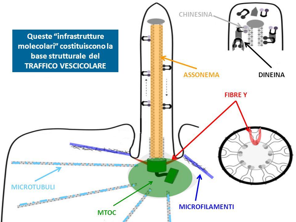 CHINESINA Queste infrastrutture molecolari costituiscono la base strutturale del TRAFFICO VESCICOLARE.