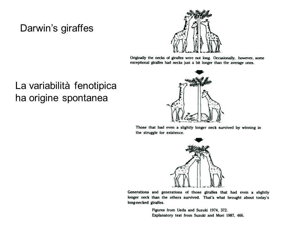Darwin's giraffes La variabilità fenotipica ha origine spontanea