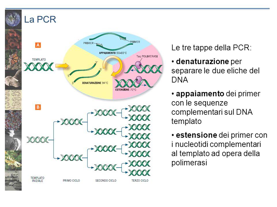 La PCR Le tre tappe della PCR: