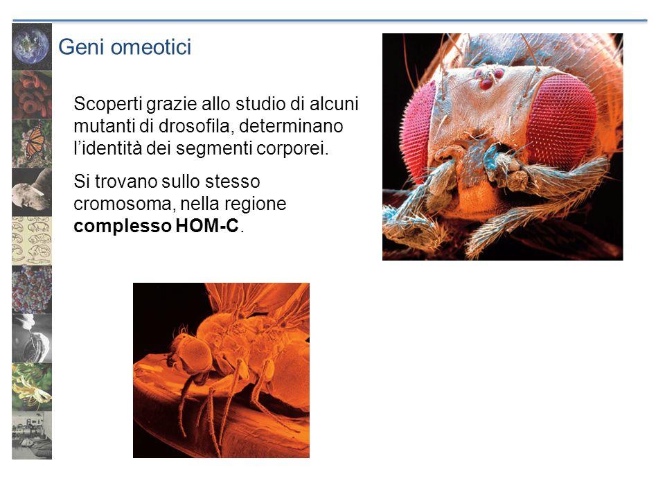 Geni omeoticiScoperti grazie allo studio di alcuni mutanti di drosofila, determinano l'identità dei segmenti corporei.