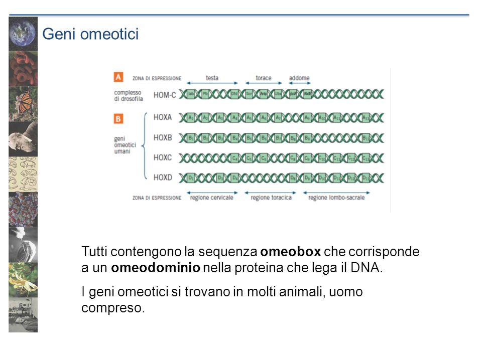 Geni omeotici Tutti contengono la sequenza omeobox che corrisponde a un omeodominio nella proteina che lega il DNA.