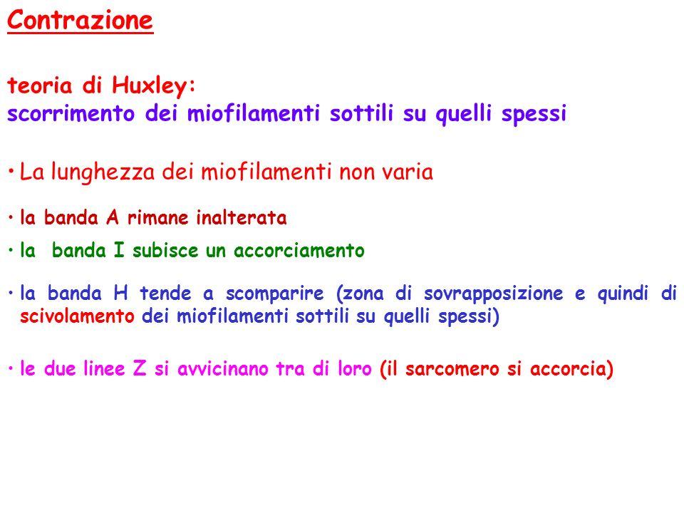 Contrazione teoria di Huxley: