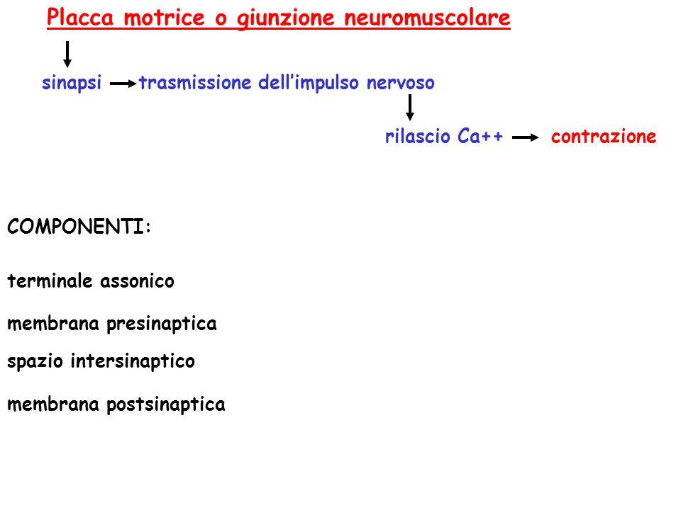 Placca motrice o giunzione neuromuscolare