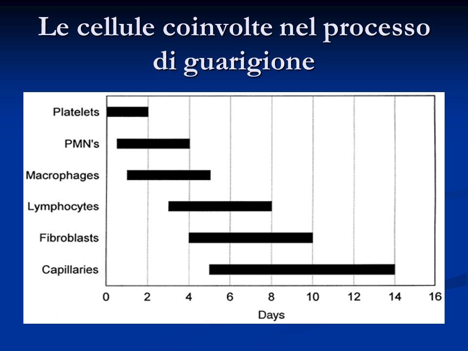 Le cellule coinvolte nel processo di guarigione