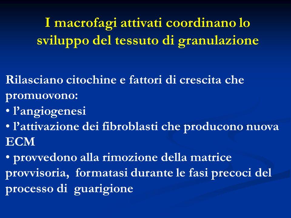 I macrofagi attivati coordinano lo sviluppo del tessuto di granulazione