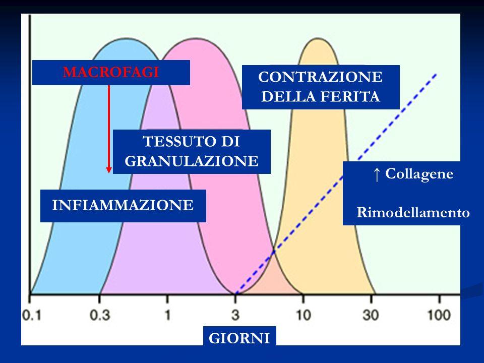 CONTRAZIONE DELLA FERITA TESSUTO DI GRANULAZIONE
