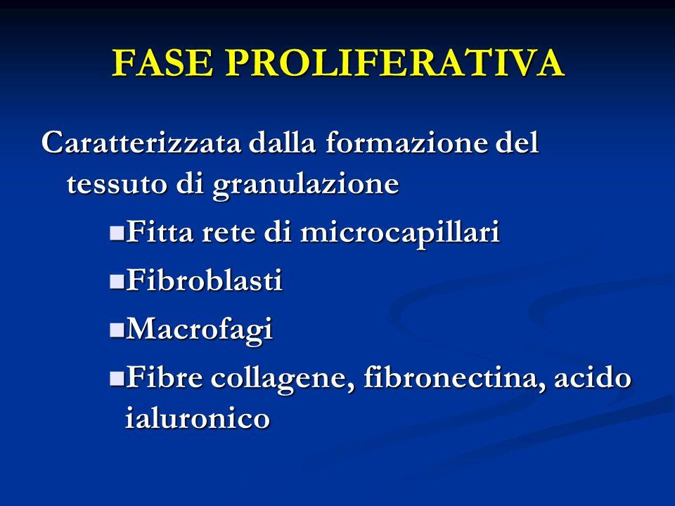 FASE PROLIFERATIVA Caratterizzata dalla formazione del tessuto di granulazione. Fitta rete di microcapillari.