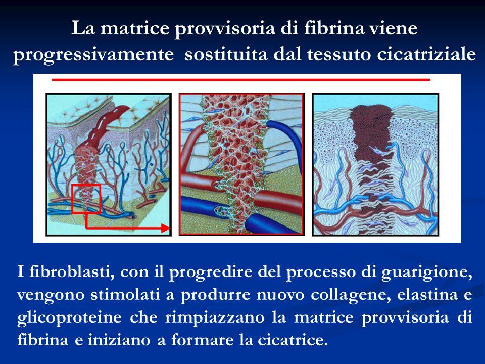 La matrice provvisoria di fibrina viene progressivamente sostituita dal tessuto cicatriziale