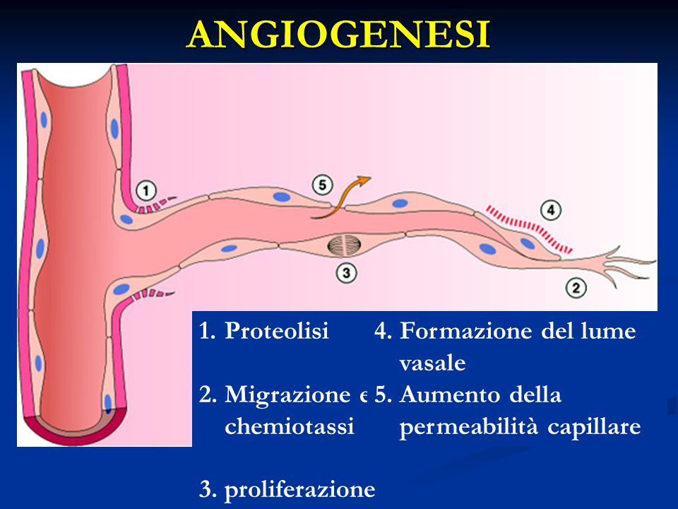 ANGIOGENESI Proteolisi Migrazione e chemiotassi proliferazione