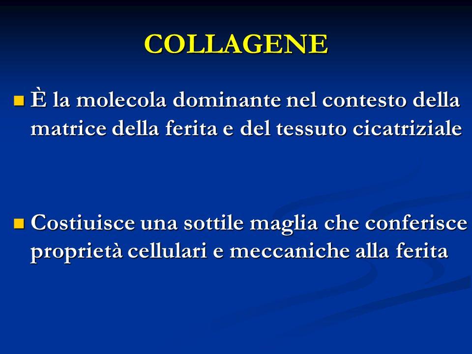 COLLAGENE È la molecola dominante nel contesto della matrice della ferita e del tessuto cicatriziale.