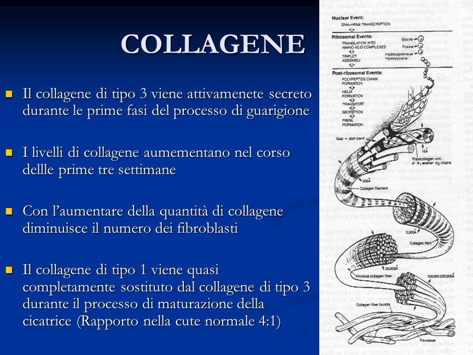 COLLAGENE Il collagene di tipo 3 viene attivamenete secreto durante le prime fasi del processo di guarigione.