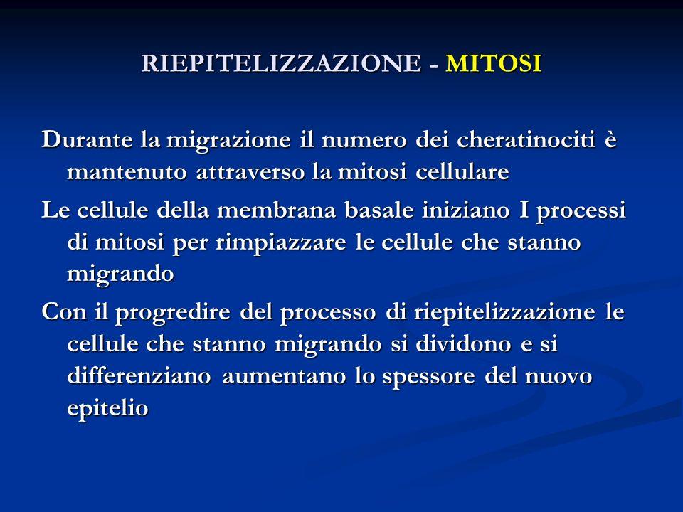RIEPITELIZZAZIONE - MITOSI