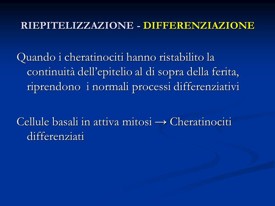 RIEPITELIZZAZIONE - DIFFERENZIAZIONE
