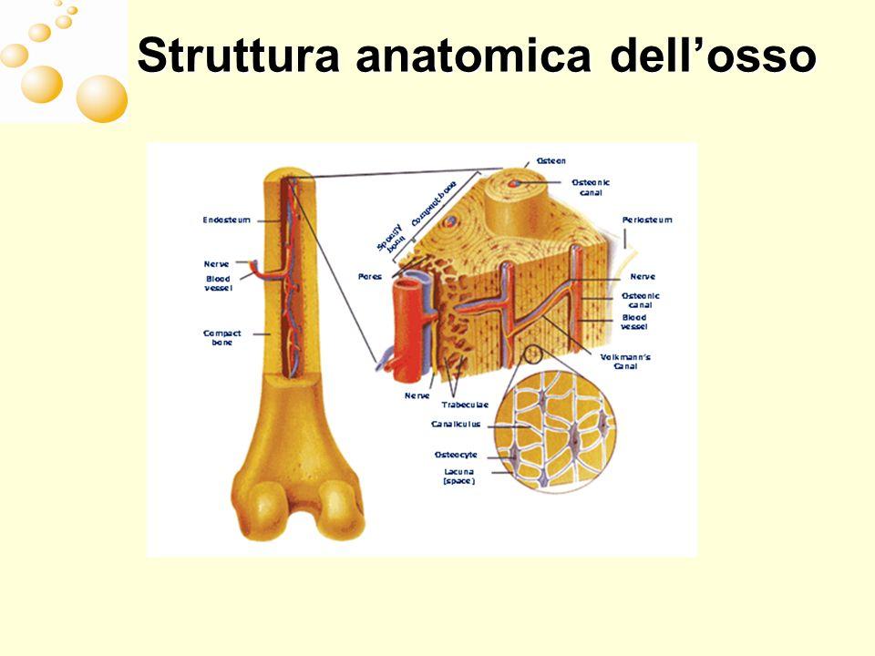 Struttura anatomica dell'osso