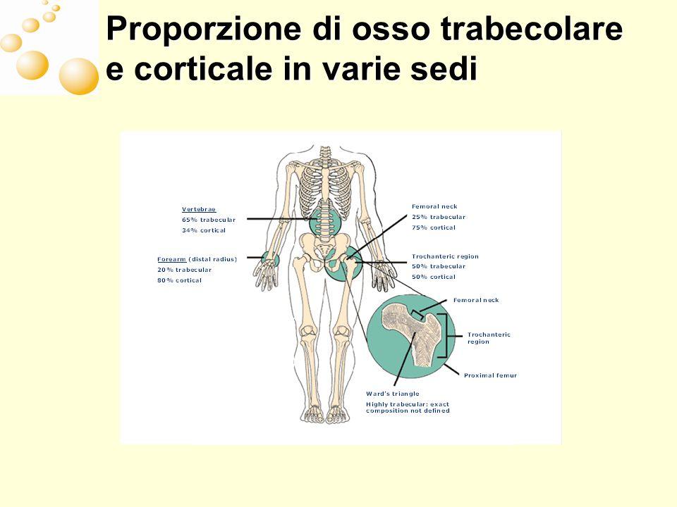 Proporzione di osso trabecolare e corticale in varie sedi