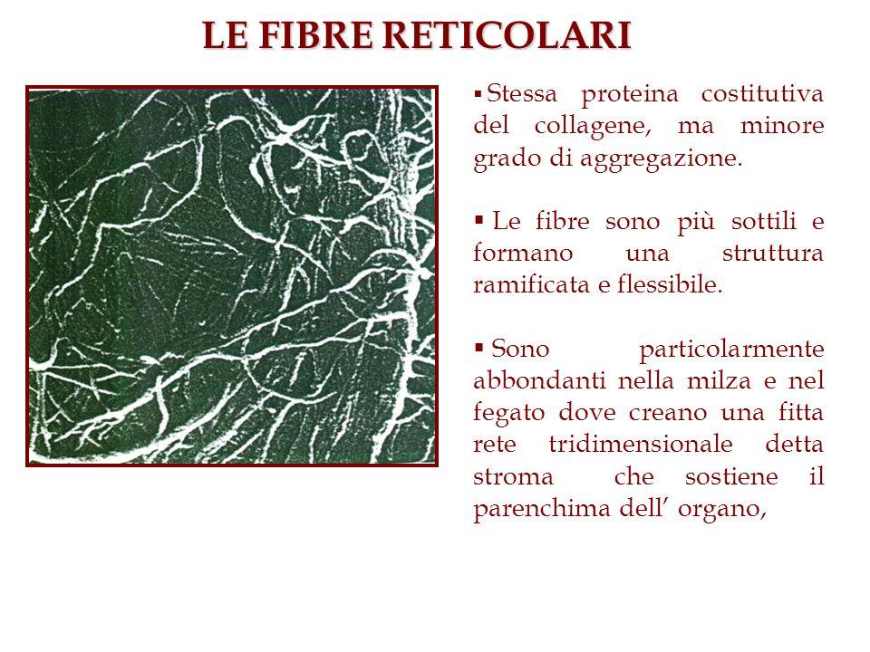 LE FIBRE RETICOLARI Stessa proteina costitutiva del collagene, ma minore grado di aggregazione.