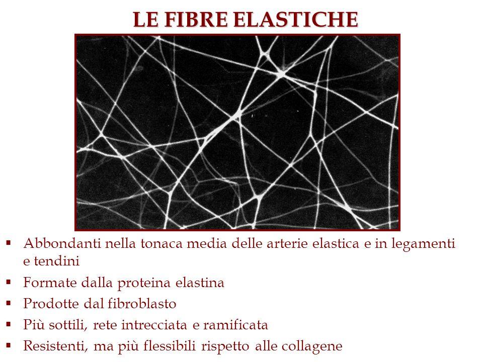 LE FIBRE ELASTICHE Abbondanti nella tonaca media delle arterie elastica e in legamenti e tendini. Formate dalla proteina elastina.