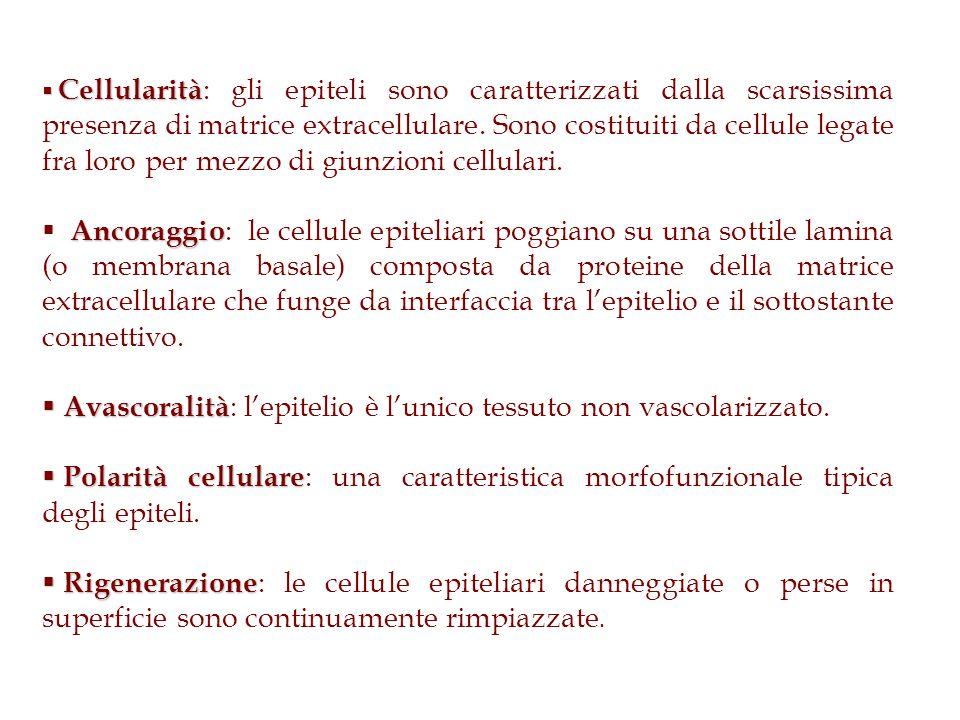 Avascoralità: l'epitelio è l'unico tessuto non vascolarizzato.