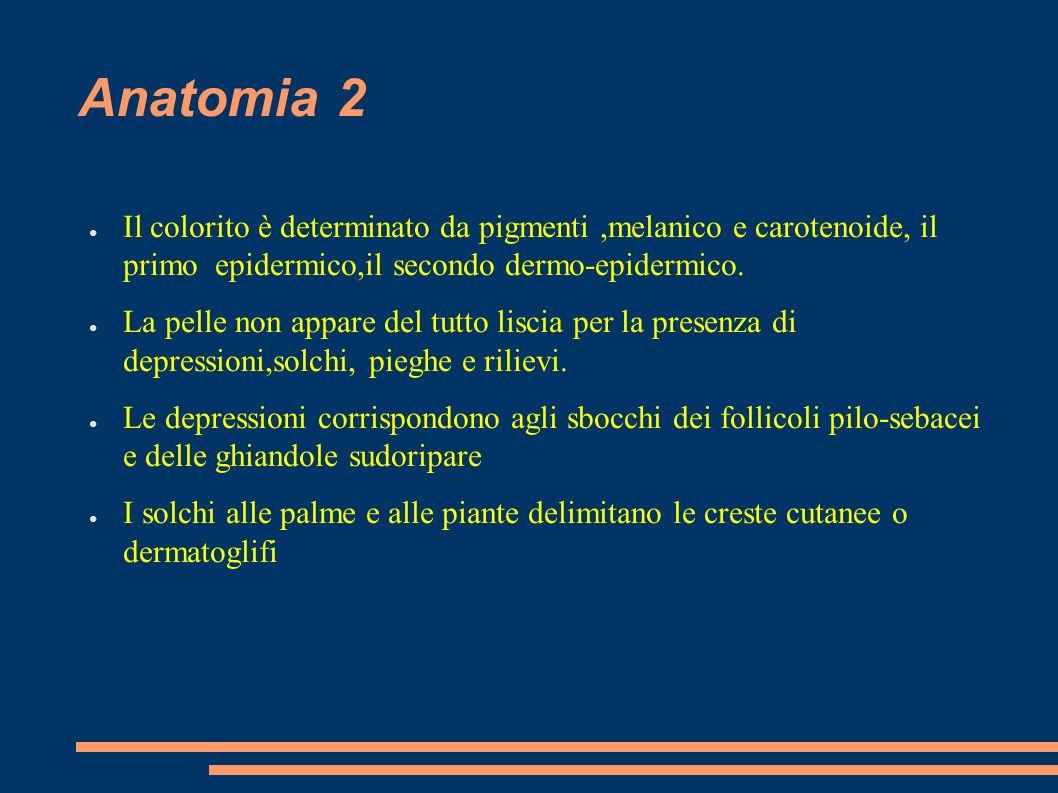 Anatomia 2 Il colorito è determinato da pigmenti ,melanico e carotenoide, il primo epidermico,il secondo dermo-epidermico.