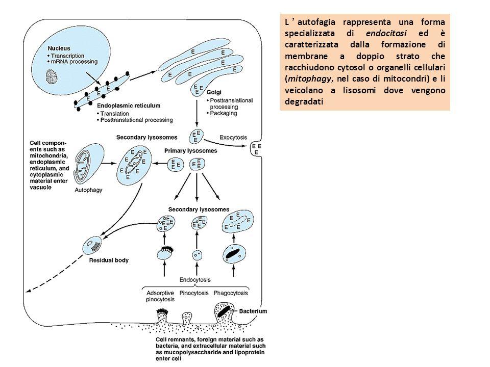 L'autofagia rappresenta una forma specializzata di endocitosi ed è caratterizzata dalla formazione di membrane a doppio strato che racchiudono cytosol o organelli cellulari (mitophagy, nel caso di mitocondri) e li veicolano a lisosomi dove vengono degradati