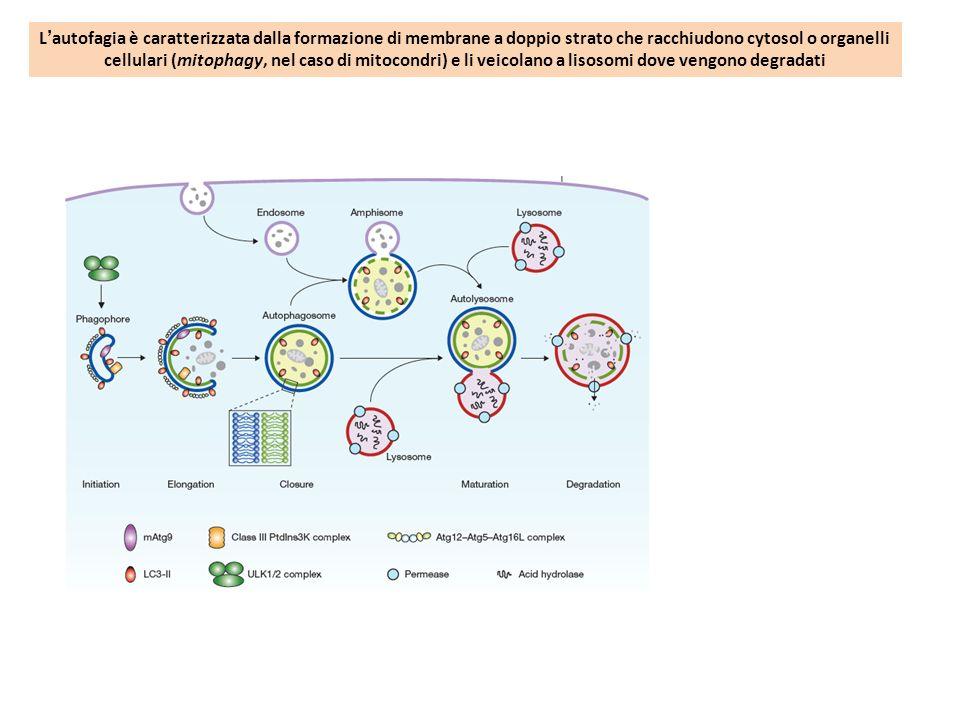 L'autofagia è caratterizzata dalla formazione di membrane a doppio strato che racchiudono cytosol o organelli