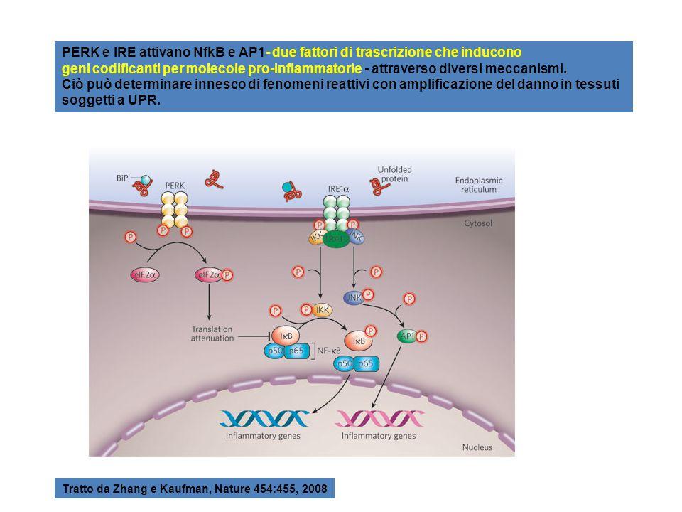 PERK e IRE attivano NfkB e AP1- due fattori di trascrizione che inducono