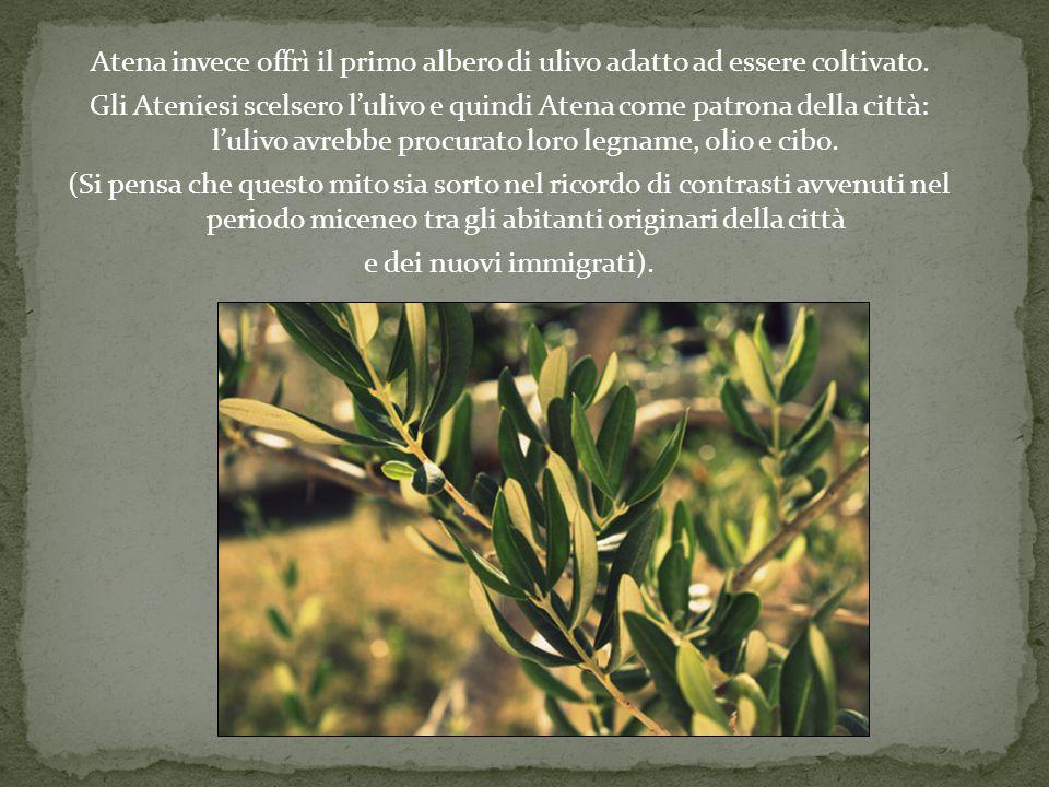 Atena invece offrì il primo albero di ulivo adatto ad essere coltivato.