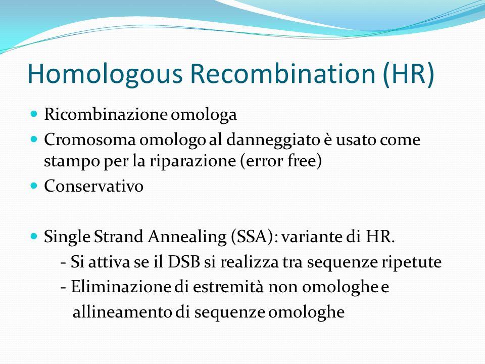 Homologous Recombination (HR)