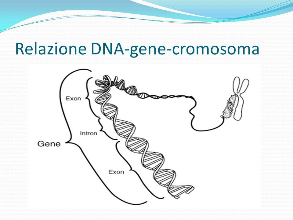 Relazione DNA-gene-cromosoma
