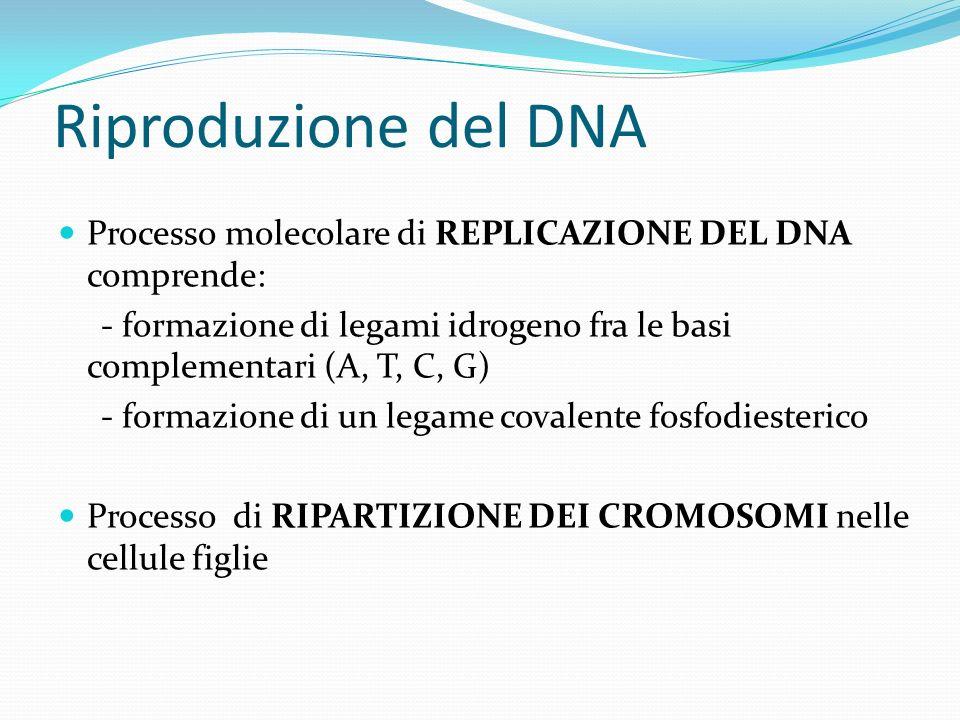Riproduzione del DNA Processo molecolare di REPLICAZIONE DEL DNA comprende: - formazione di legami idrogeno fra le basi complementari (A, T, C, G)