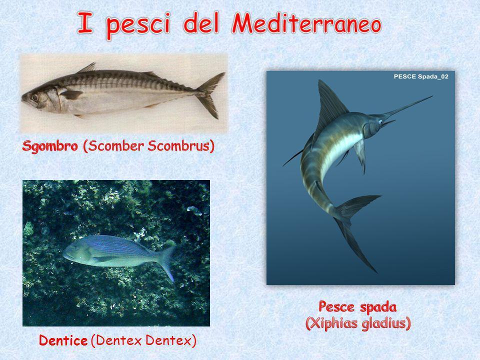 I pesci del Mediterraneo