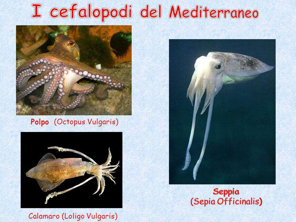 I cefalopodi del Mediterraneo