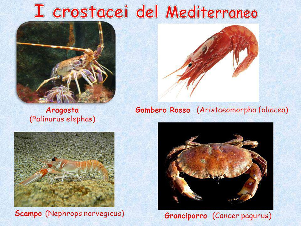 I crostacei del Mediterraneo