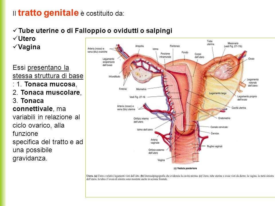 Il tratto genitale è costituito da: