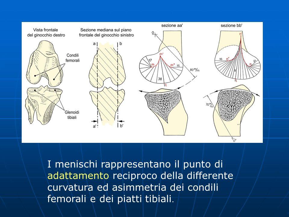 I menischi rappresentano il punto di adattamento reciproco della differente curvatura ed asimmetria dei condili femorali e dei piatti tibiali.