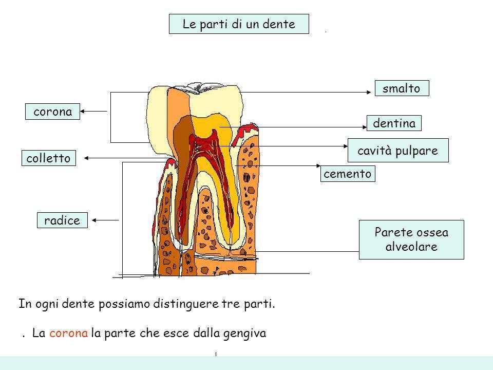 Le parti di un dente smalto. corona. dentina. cavità pulpare. colletto. cemento. radice. Parete ossea.