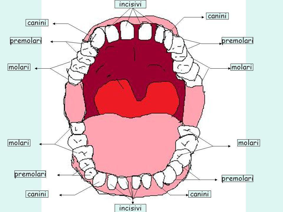 incisivi canini. canini. premolari. premolari. molari. molari. molari. molari. premolari. premolari.