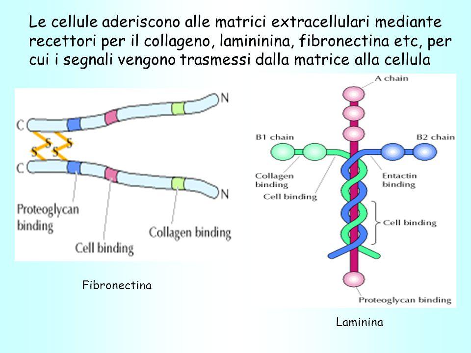Le cellule aderiscono alle matrici extracellulari mediante recettori per il collageno, lamininina, fibronectina etc, per cui i segnali vengono trasmessi dalla matrice alla cellula