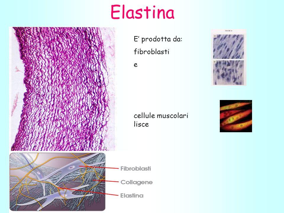 Elastina E' prodotta da: fibroblasti e cellule muscolari lisce