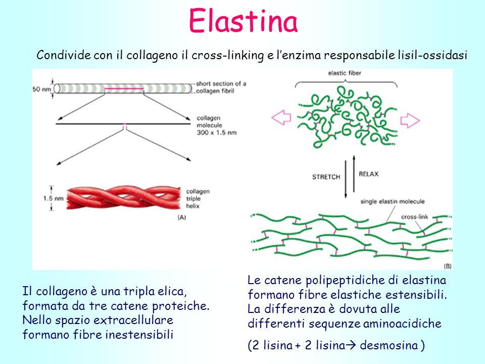 Elastina Condivide con il collageno il cross-linking e l'enzima responsabile lisil-ossidasi.