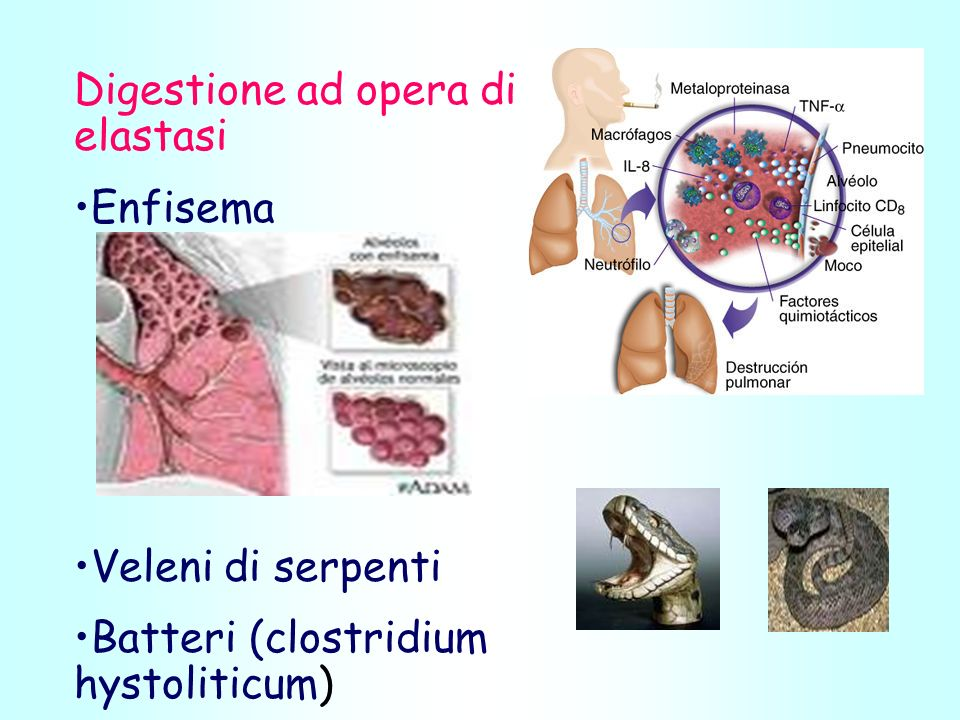 Digestione ad opera di elastasi