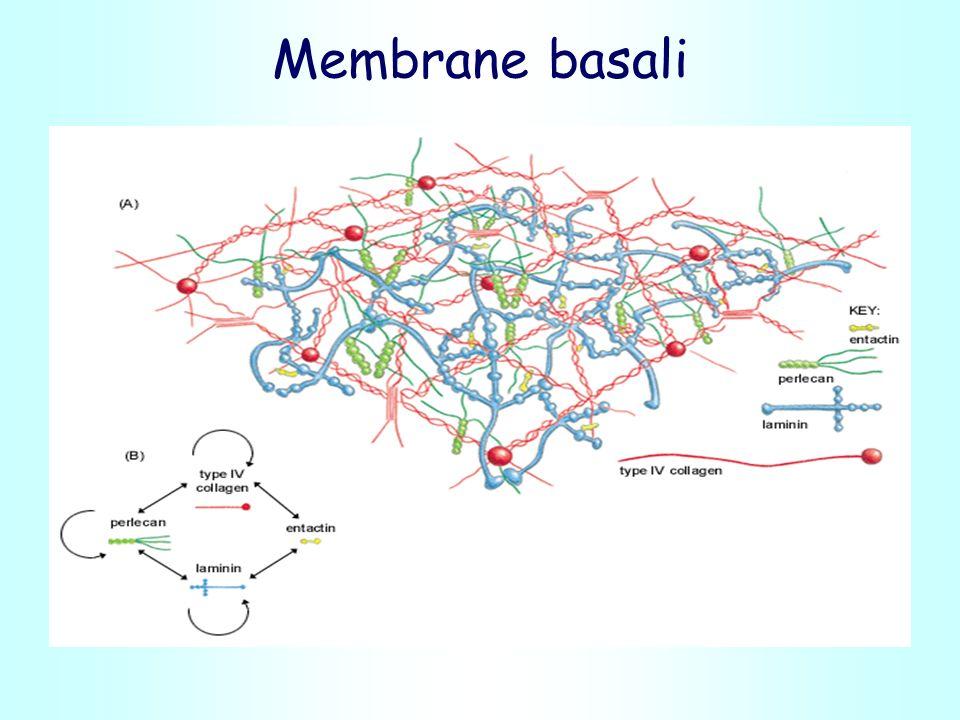 Membrane basali