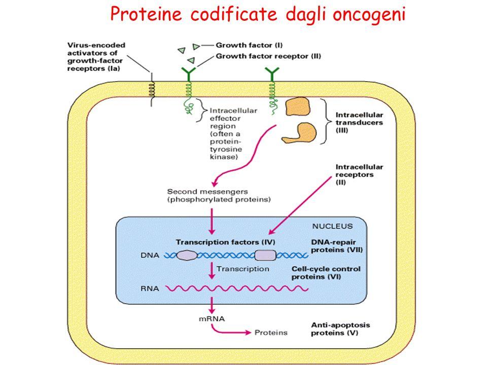 Proteine codificate dagli oncogeni