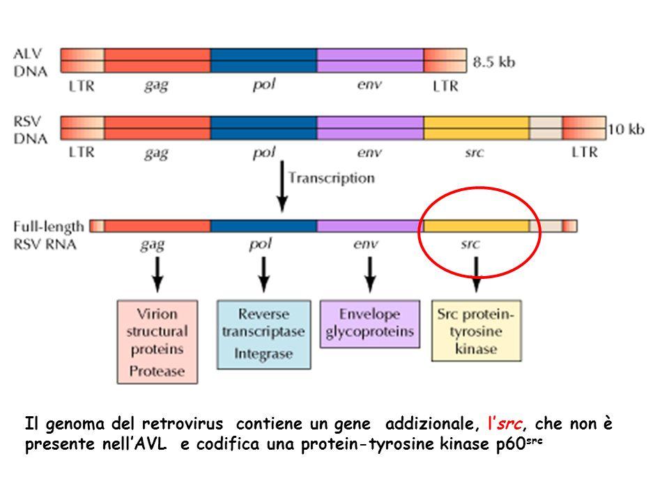 Il genoma del retrovirus contiene un gene addizionale, l'src, che non è presente nell'AVL e codifica una protein-tyrosine kinase p60src