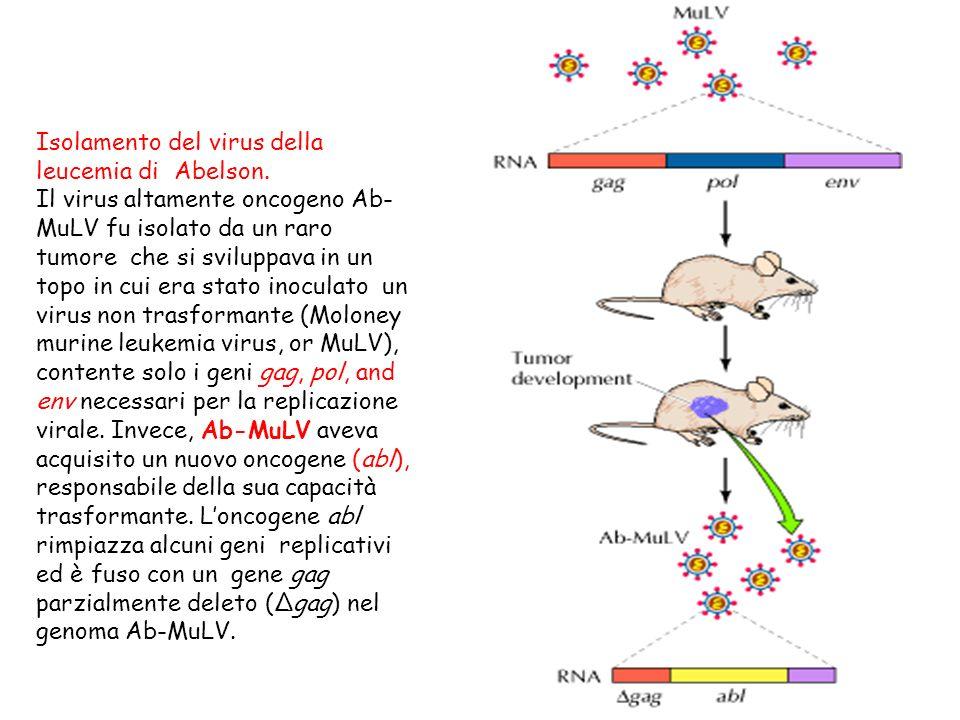 Isolamento del virus della leucemia di Abelson.