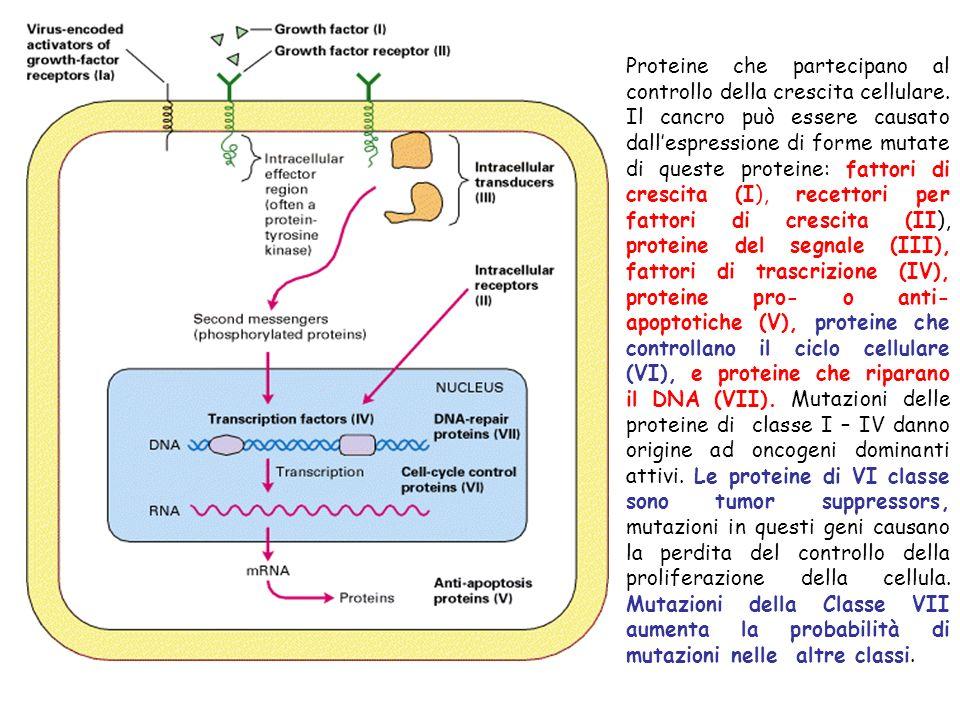 Proteine che partecipano al controllo della crescita cellulare